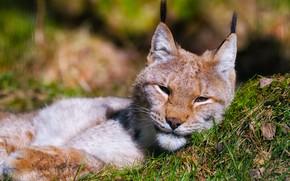 Картинка трава, взгляд, морда, свет, фон, портрет, лежит, рысь, дикая кошка, боке