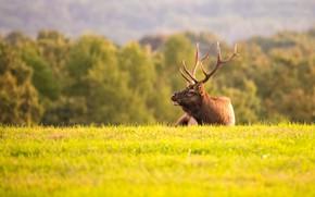 Картинка поле, осень, трава, деревья, природа, олень, лежит, рога