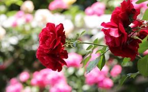 Картинка цветы, розы, ветка, сад, красные, боке