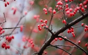 Картинка осень, капли, ветки, ягоды, куст, плоды, красные, боке, кизил