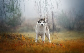 Картинка осень, трава, взгляд, ветки, природа, туман, собака, хаски, сибирский хаски