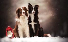 Картинка собаки, снег, фонарь, парочка, боке, две собаки