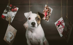 Картинка взгляд, собака, Рождество, мордашка, пёсик, открытки, Парсон-рассел-терьер