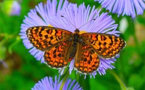 Картинка Бабочка, Macro, Butterfly, Макро., Астры, Asters