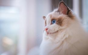 Картинка кошка, кот, взгляд, морда, котенок, фон, портрет, светлый, котёнок, голубые глаза, рэгдолл