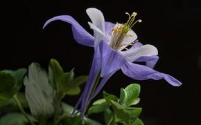 Картинка цветок, чёрный фон, водосбор, аквилегия