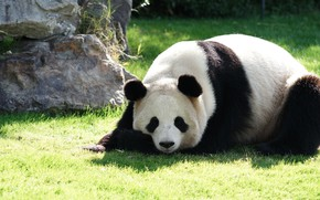 Картинка трава, морда, свет, природа, поза, камни, отдых, поляна, сон, медведь, панда, спит, лежит, зоопарк