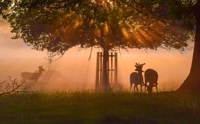 Картинка туман, рассвет, олени