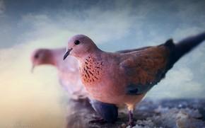 Картинка макро, птица, голуби