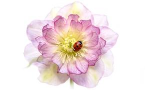 Картинка цветок, макро, красный, розовый, божья коровка, жук, размытие, лепестки, белый фон, насекомое, жучок