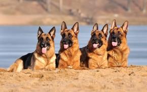 Картинка песок, собаки, овчарки, немецкие овчарки