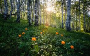 Картинка лес, лето, солнце, лучи, свет, цветы, березы, Россия, берёзы, роща, берёзки, березовая роща, Алтай, березовая, …