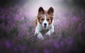 Картинка морда, радость, счастье, цветы, природа, поза, прыжок, поляна, собака, бег, рыжая, прогулка, уши, бежит, вереск, …