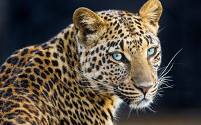 Картинка морда, фон, портрет, леопард, боке
