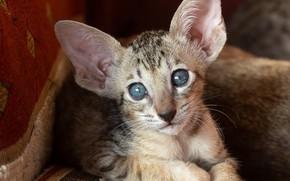 Картинка кошка, кот, взгляд, мордочка, уши, голубые глаза, котейка, Ориентальная кошка, Ориентал, Татьяна Феденкова