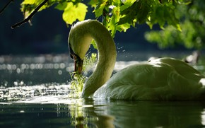 Картинка листья, вода, ветки, птица, лебедь