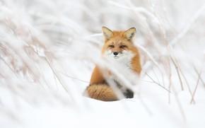 Картинка зима, взгляд, снег, ветки, лиса, сидит