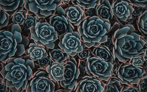 Картинка фон, растения, суккулент, суккуленты