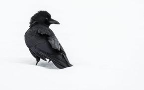 Картинка зима, снег, ворона