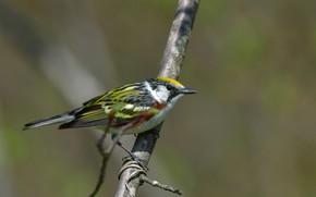 Картинка птица, ветка, боке, Chestnut-sided Warbler