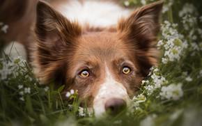 Обои лето, трава, глаза, взгляд, морда, цветы, крупный план, природа, портрет, собака, желтые, луг, лежит, рыжая, ...