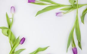 Картинка цветы, фиолетовые, тюльпаны, flowers, beautiful, tulips, spring, purple
