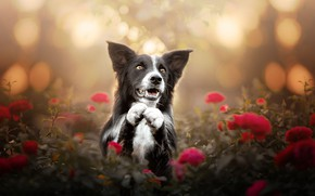 Картинка морда, цветы, розы, собака, лапы, боке, Бордер-колли