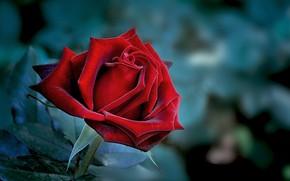 Картинка роза, лепестки, красная, цветение, боке