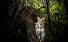 Картинка природа, леопард, зверь