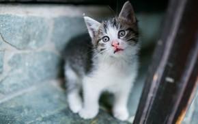 Картинка кошка, взгляд, поза, котенок, фон, размытие, малыш, котёнок, сидит, серый с белым
