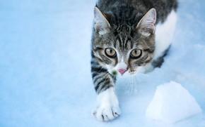 Картинка кошка, кот, взгляд, фон, мордочка, лапка