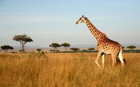 Картинка поле, небо, трава, солнце, деревья, пейзаж, природа, жираф, саванна, Африка