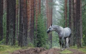 Картинка дорога, лес, лошадь, серая в яблоках