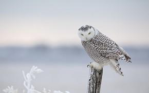 Картинка зима, иней, снег, ветки, птица, столб, полярная сова