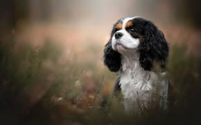 Картинка портрет, собака, Кавалер кинг-чарльз-спаниель