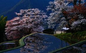 Картинка лес, деревья, горы, пруд, парк, Япония, сакура, цветение, Киото, возвышенность