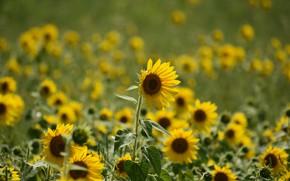 Картинка поле, лето, листья, подсолнухи, цветы, природа, зеленый, фон, желтые, много, подсолнечник, боке, размытый, поле подсолнухов