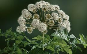 Картинка цветок, растение, дудник