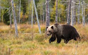 Картинка осень, лес, трава, деревья, природа, поза, стволы, медведь, мишка, прогулка, бурый