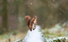 Картинка зима, лес, снег, природа, белка, рыжая, бревно, снегопад, стойка, размытый фон