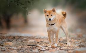 Обои взгляд, листья, природа, камни, собака, ветка, рыжий, ошейник, молодой, пёсик, сиба-ину