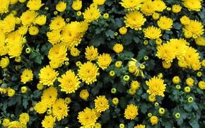 Картинка осень, хризантемы, жёлтые хризантемы