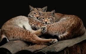 Картинка взгляд, поза, темный фон, вместе, две, пара, дикие кошки, рысь, парочка, дуэт, рыси, два, брёвна, …