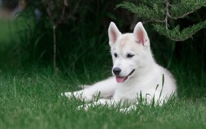 Картинка язык, белый, трава, взгляд, ветки, природа, поза, зеленый, парк, фон, собака, малыш, щенок, лежит, мордашка, …