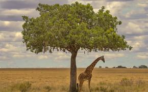 Картинка дерево, жираф, Африка