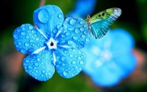 Картинка цветок, вода, капли, макро, свет, цветы, голубой, бабочка, фотошоп, обработка, голубые, голубая, боке, незабудки