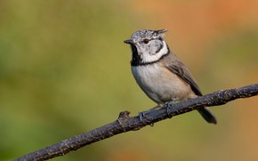 Картинка птица, ветка, хохлатая синица