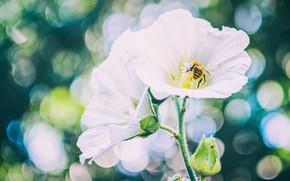 Картинка пчела, белая, мальва