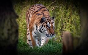 Картинка трава, взгляд, морда, листья, деревья, природа, тигр, поза, хищник, дикая кошка
