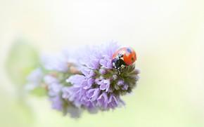 Картинка макро, цветы, красный, фон, божья коровка, жук, размытие, насекомое, сиреневые, жучок